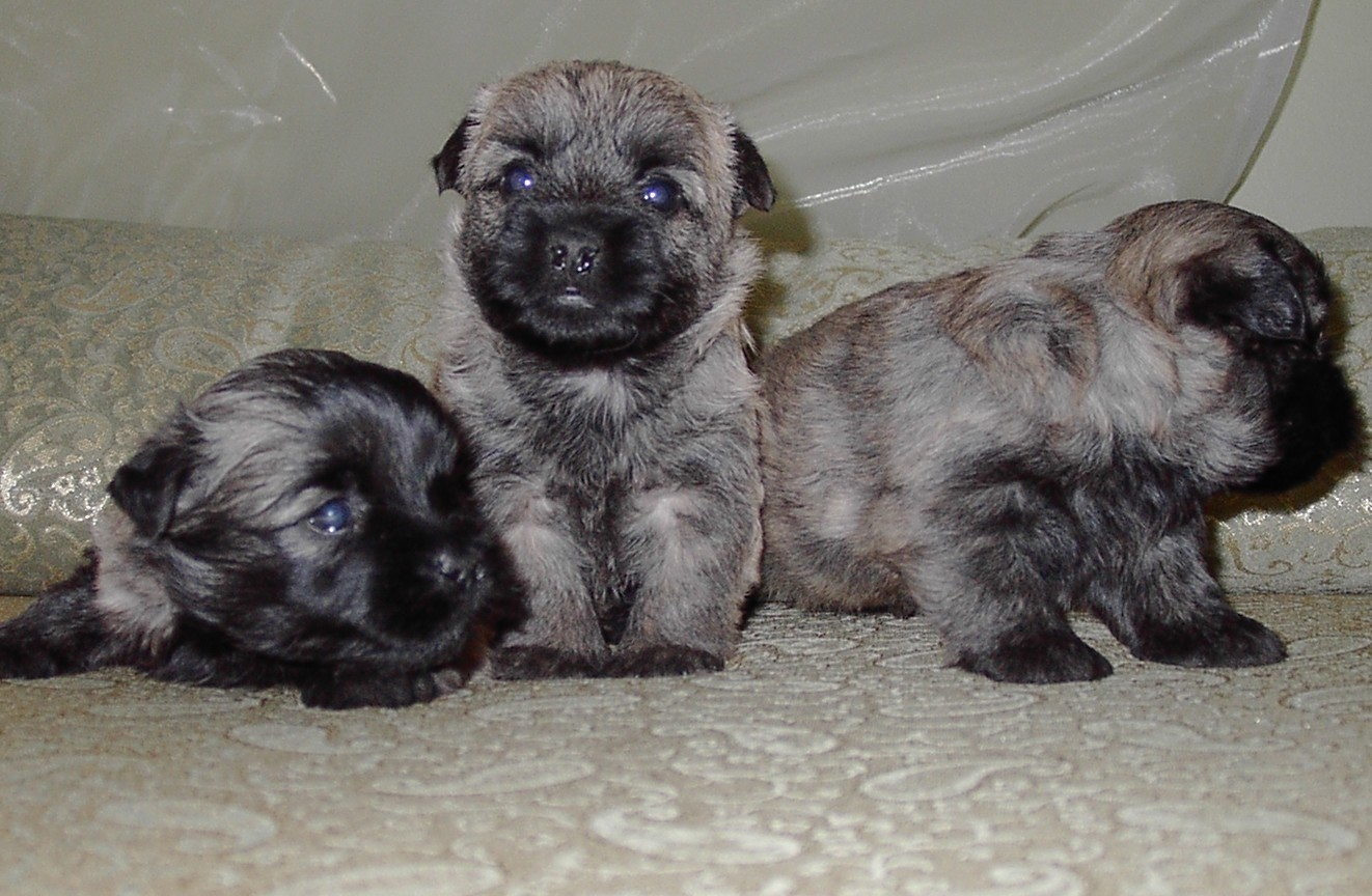 Saarlooswolfhond Puppies: Saarlooswolfhond Cairn Terrier Dog Reviews And Pictures Breed