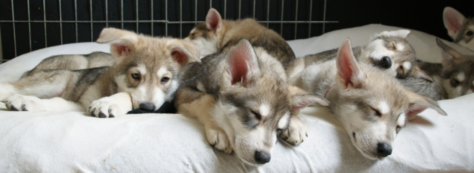 Saarlooswolfhond Puppies: Saarlooswolfhond De Saarlooswolfhond Breed