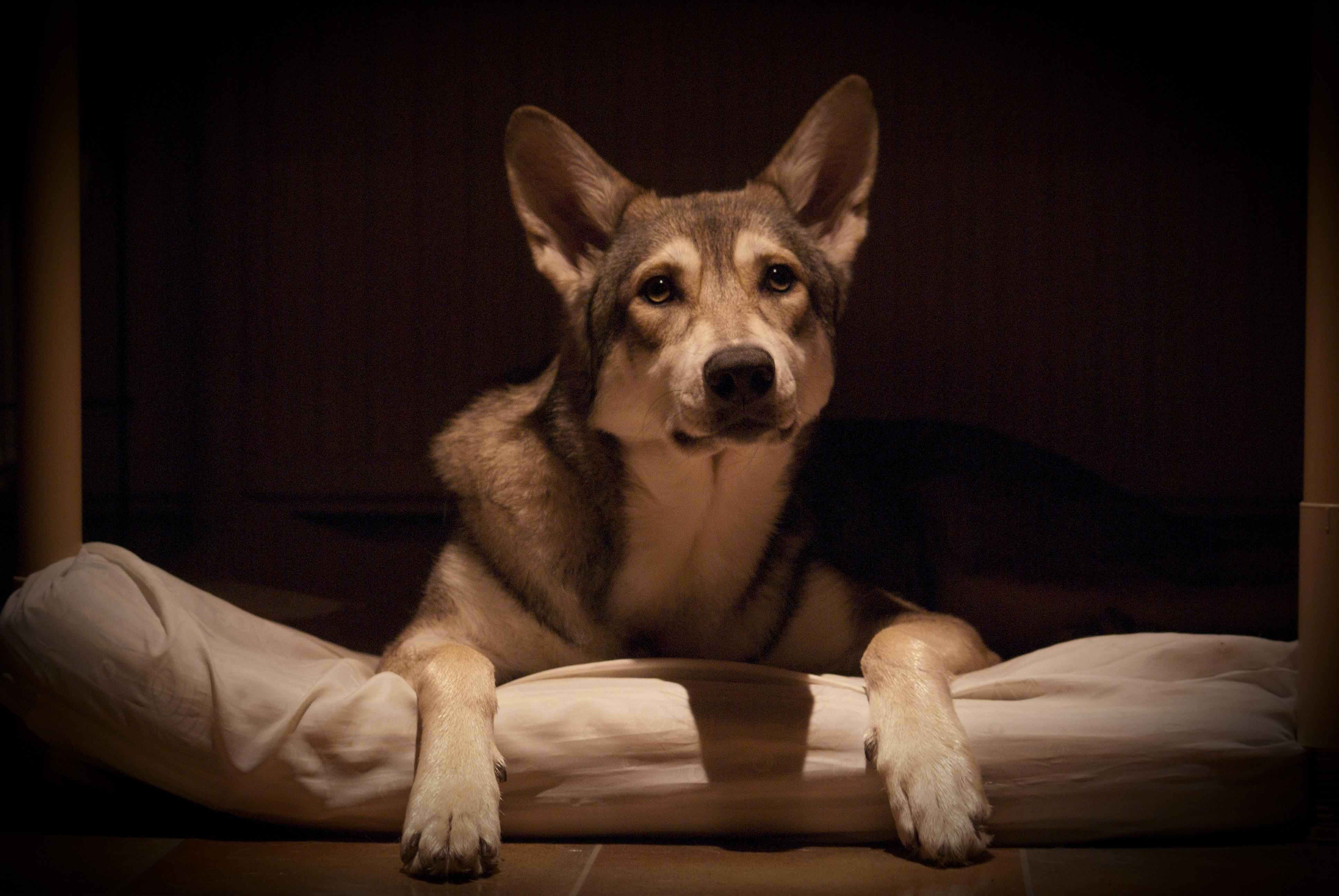 Saarlooswolfhond Dog: Saarlooswolfhond Mystery Saarlooswolfhond Dog Breed