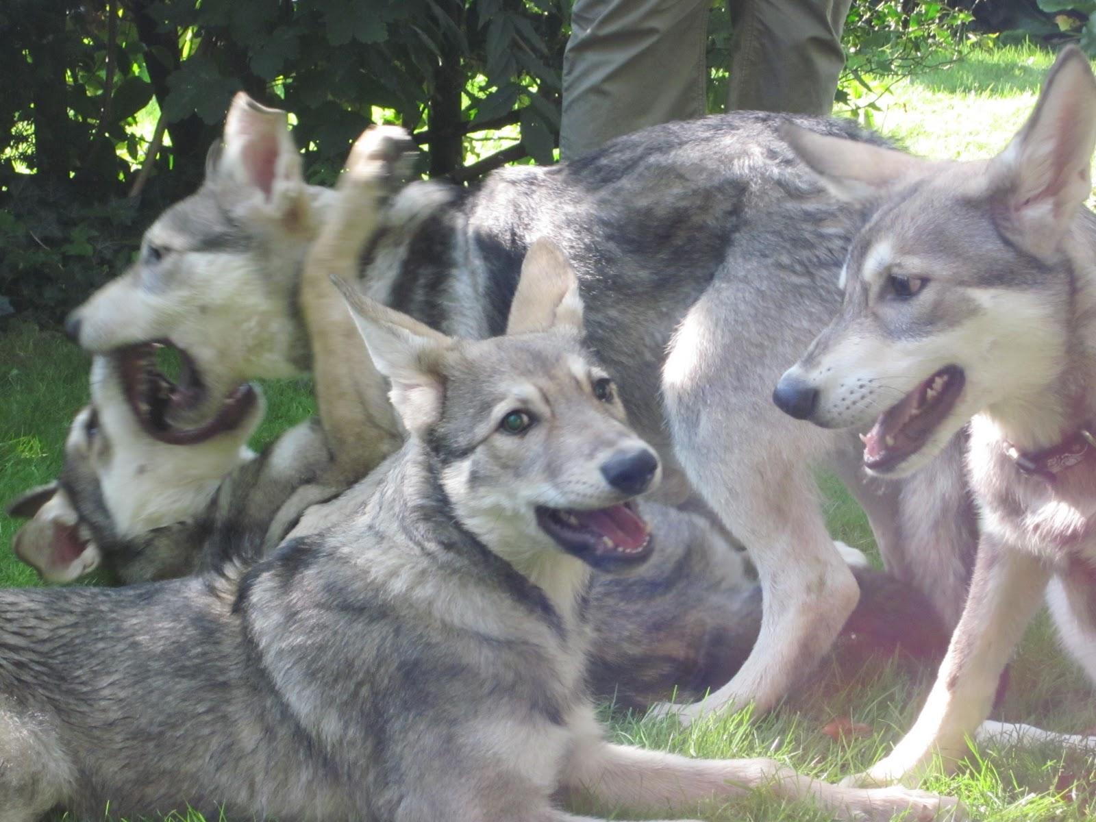 Saarlooswolfhond Dog: Saarlooswolfhond Nice Saarlooswolfhond Dogs Breed
