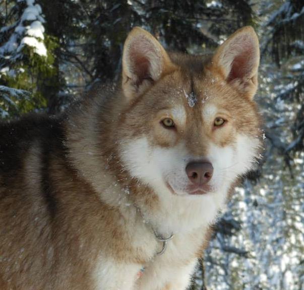 Saarlooswolfhond Puppies: Saarlooswolfhond Puppies Breed
