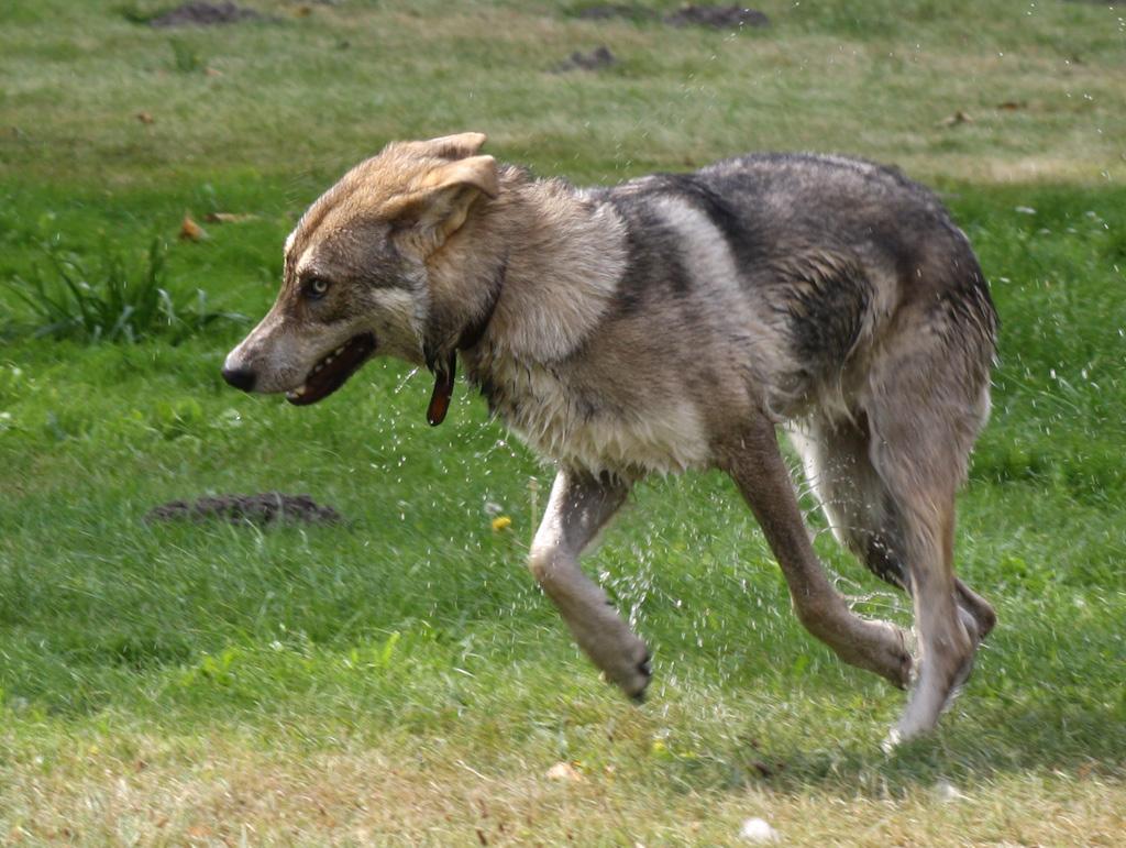 Saarlooswolfhond Dog: Saarlooswolfhond Running Saarlooswolfhond Dog Breed