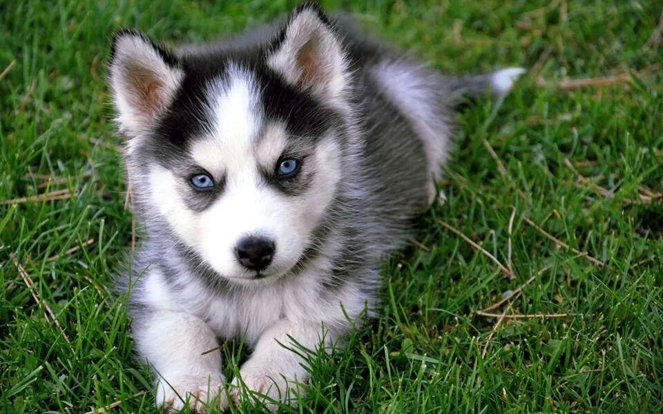 Saarlooswolfhond Puppies: Saarlooswolfhond Saarloos Wolfdog Puppies Breed