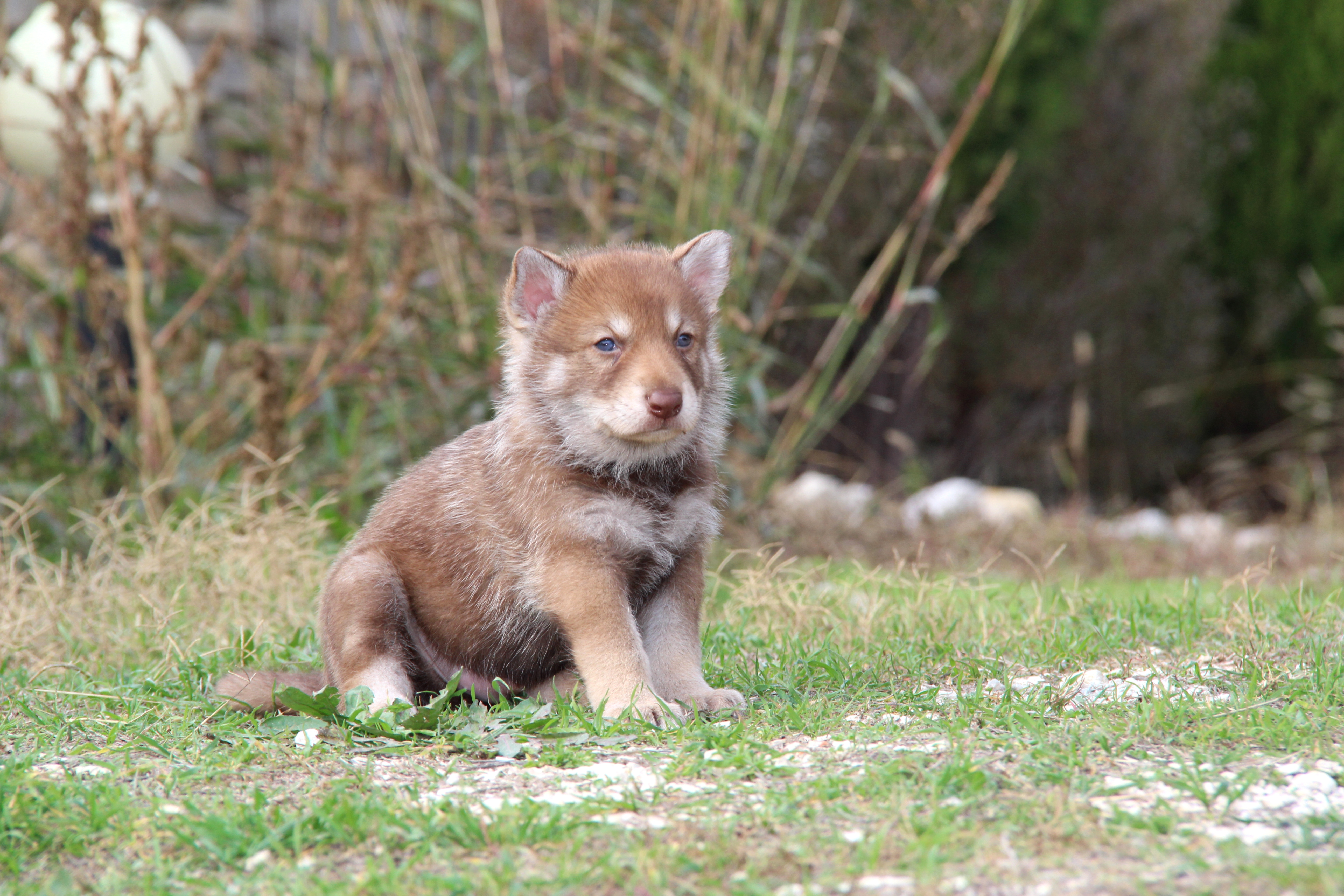 Saarlooswolfhond Puppies: Saarlooswolfhond Saarloos Wolfdog Puppies For Sale Breed