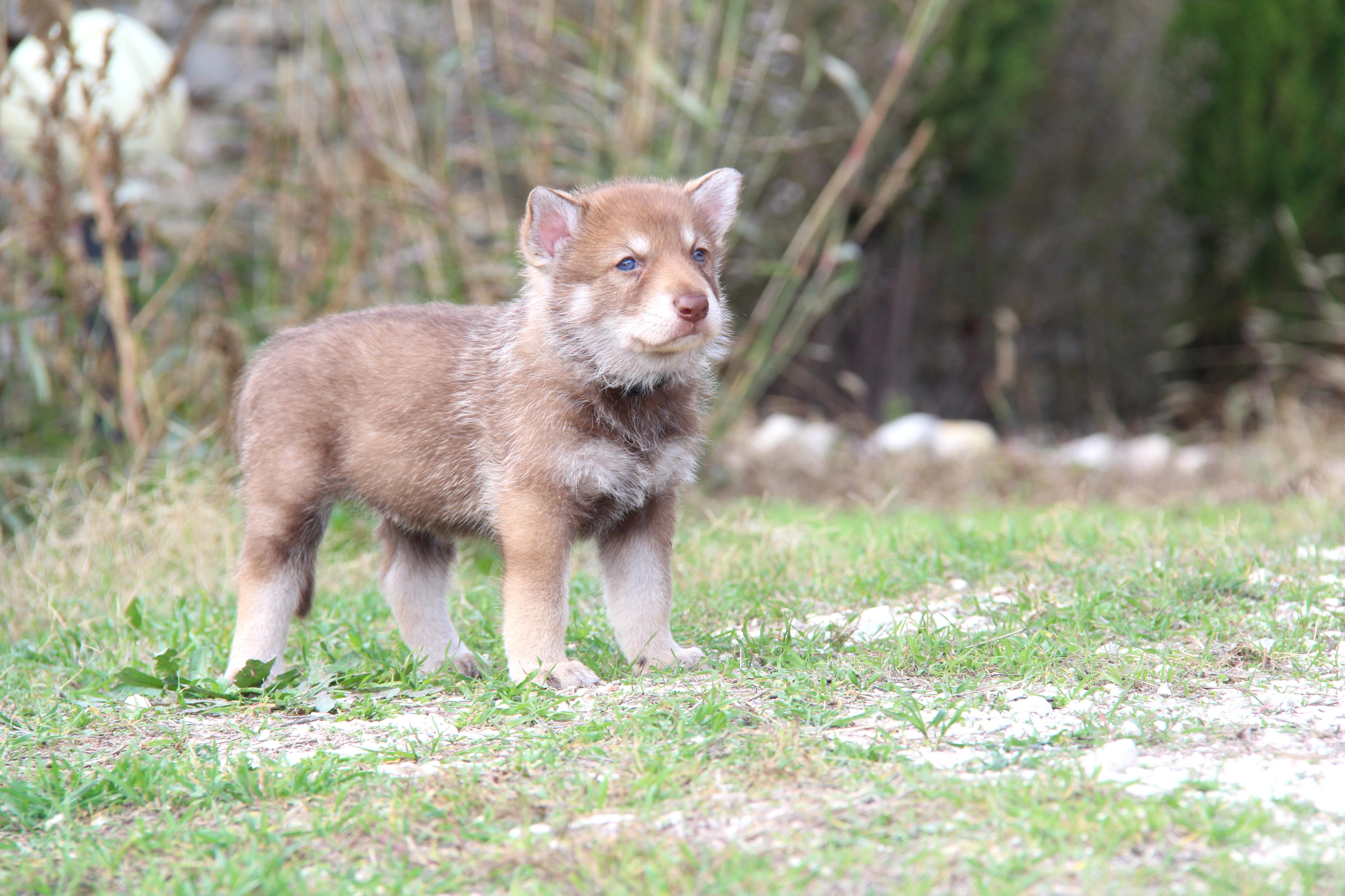Saarlooswolfhond Puppies: Saarlooswolfhond Saarloos Wolfhound Puppy Breed