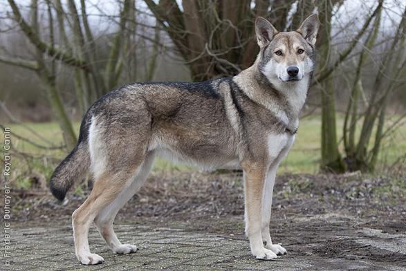 Saarlooswolfhond Dog: Saarlooswolfhond Saarlooswolfhond Breed
