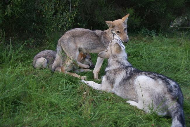 Saarlooswolfhond Puppies: Saarlooswolfhond Saarlooswolfhond Met Wolfen Puppies Breed
