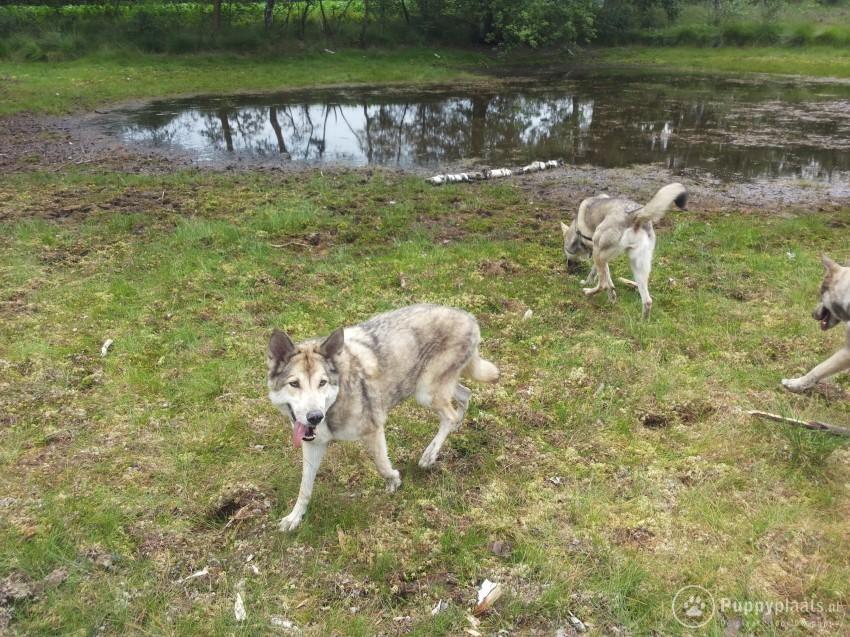 Saarlooswolfhond Puppies: Saarlooswolfhond Saarlooswolfhonden Pups Breed