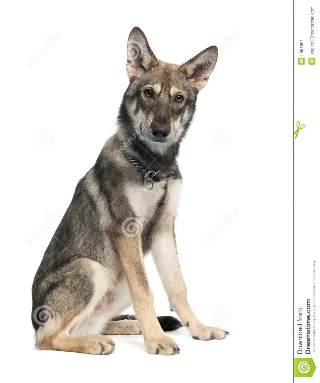 Saarlooswolfhond Puppies: Saarlooswolfhond Stock Saarloos Wolf Dog Puppy Months Old Breed