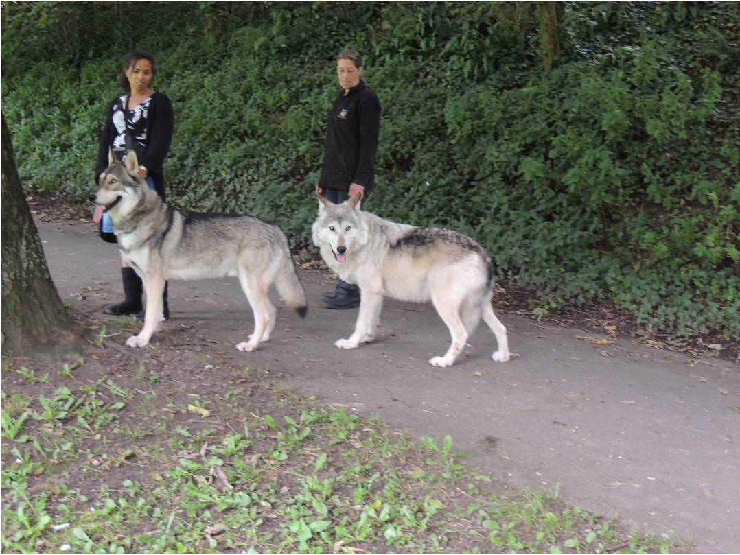 Saarlooswolfhond Puppies: Saarlooswolfhond Wolf Dog Puppies For Sale Breed