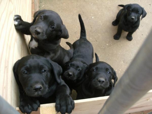 Sabueso Español Puppies: Sabueso Add S English Foxhound Dogs In Your Blog Breed