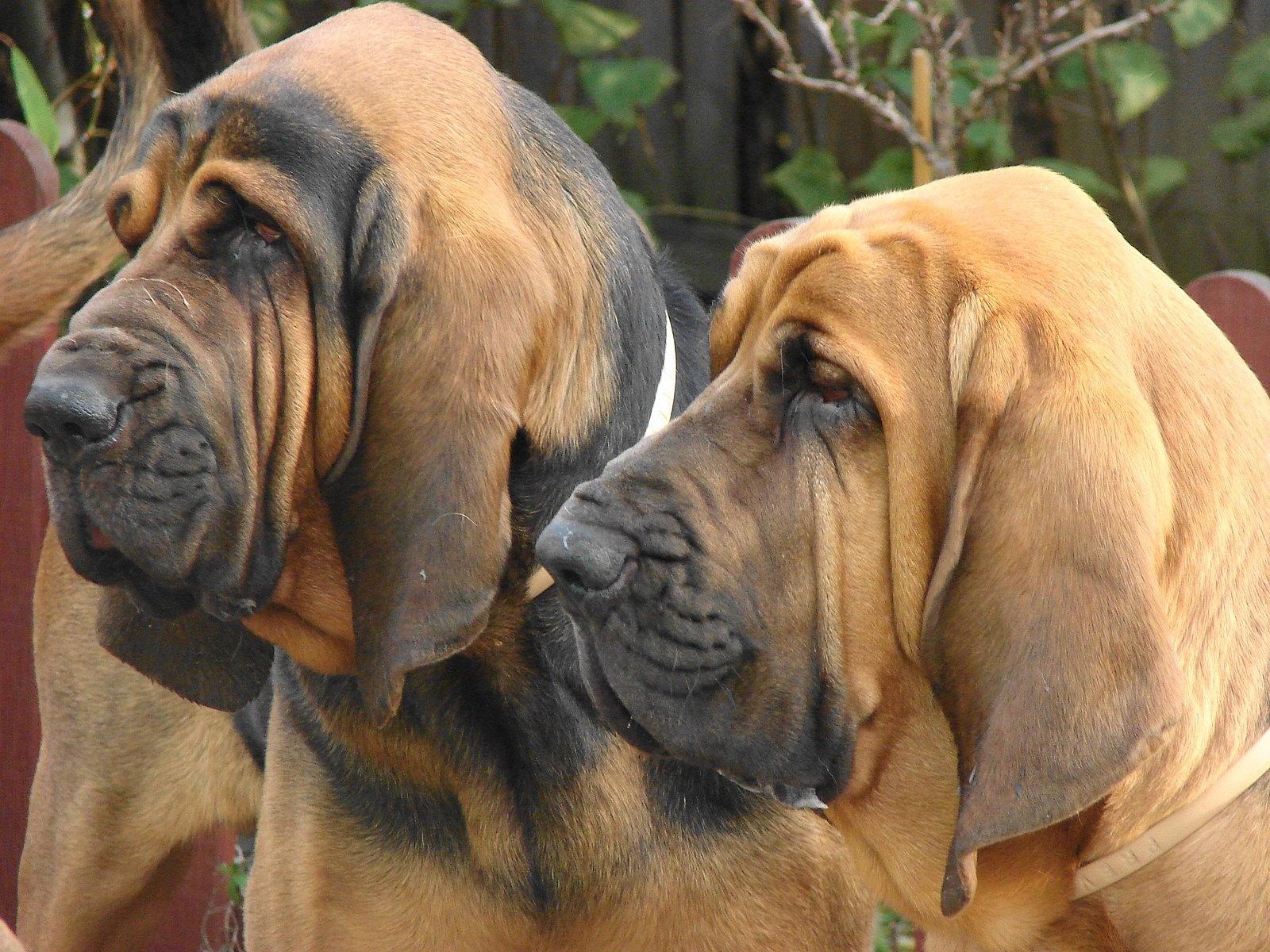 Sabueso Español Puppies: Sabueso Bloodhound Puppies Dog Breed