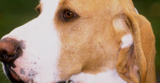 Sabueso Español Dog: Sabueso Chien D Artois Breed