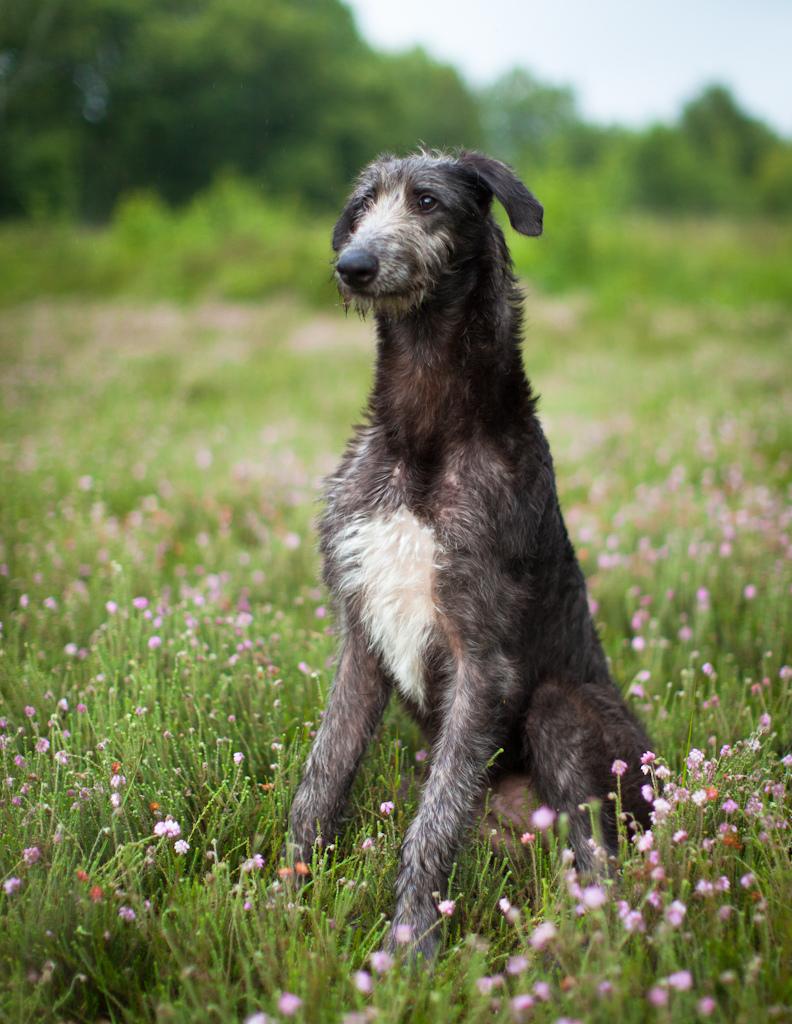 Sabueso Español Puppies: Sabueso Puppiesforsale Breed