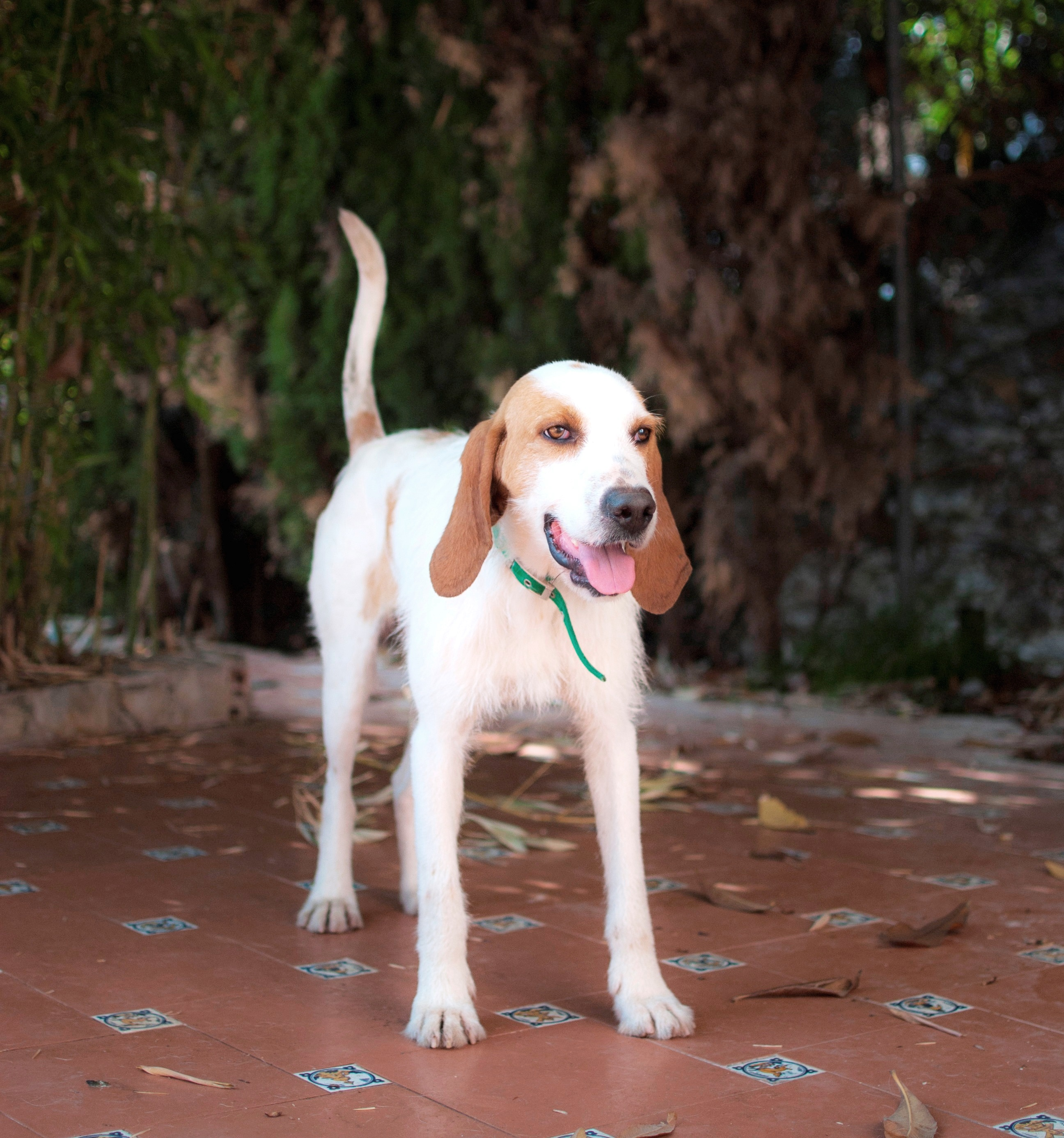 Sabueso Español Dog: Sabueso Sabueso Espanol Dog Breed