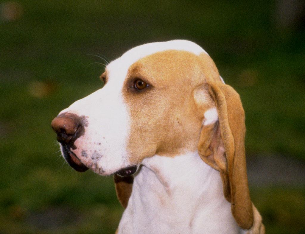Sabueso Español Dog: Sabueso Sabueso Espanol Dog Face Breed