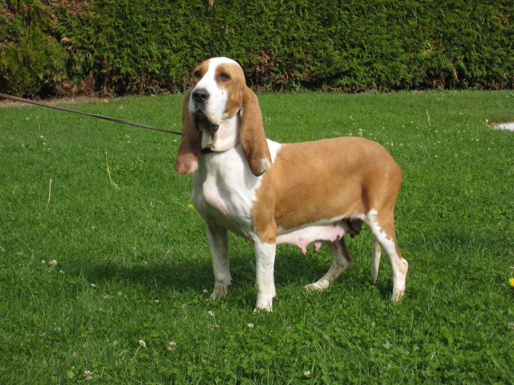 Sabueso Español Dog: Sabueso Sabueso Espanol Dog On The Grass Breed