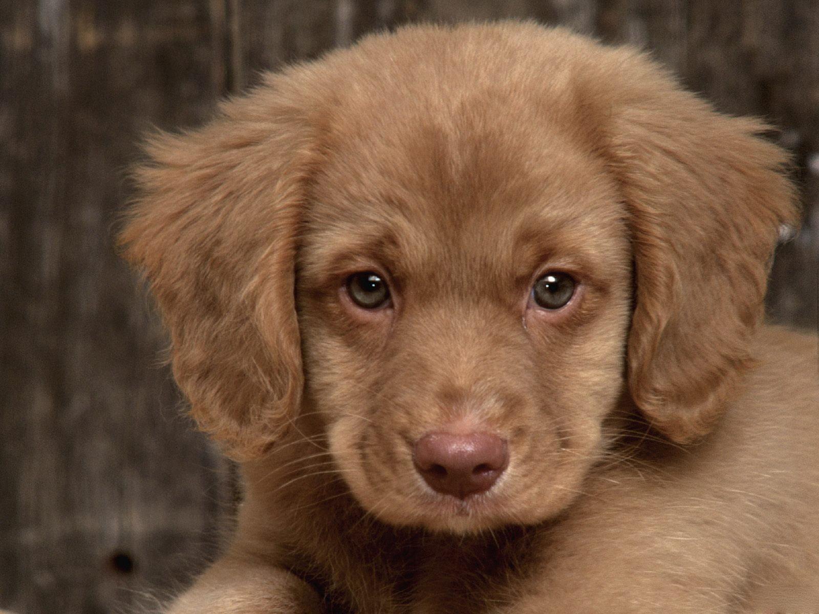 Sabueso Español Puppies: Sabueso Sad Puppy Breed