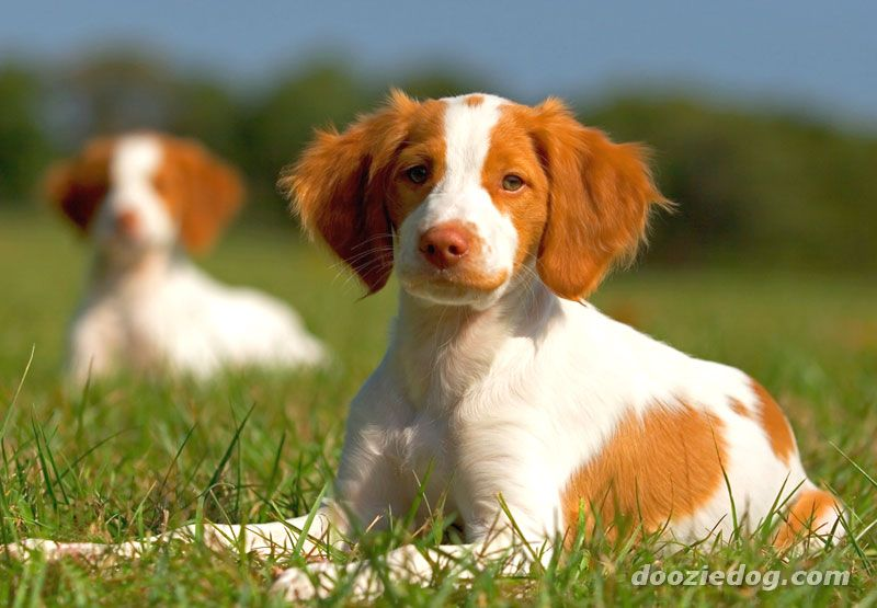 Saint-Usuge Spaniel Puppies: Saint Usuge Brittany Puppy Breed