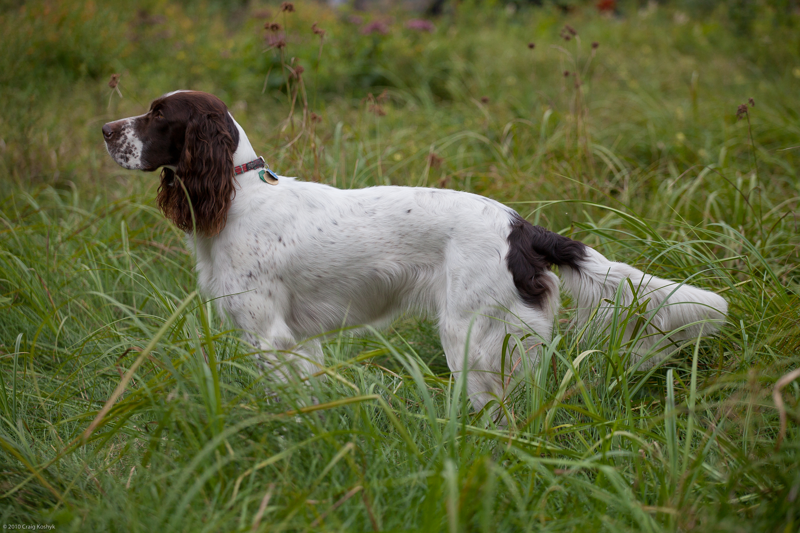 Saint-Usuge Spaniel Puppies: Saint Usuge French Spaniel Pagneul Franais Epagneul Francais Breed