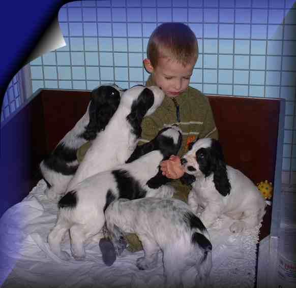 Saint-Usuge Spaniel Puppies: Saint Usuge Puppies Breed
