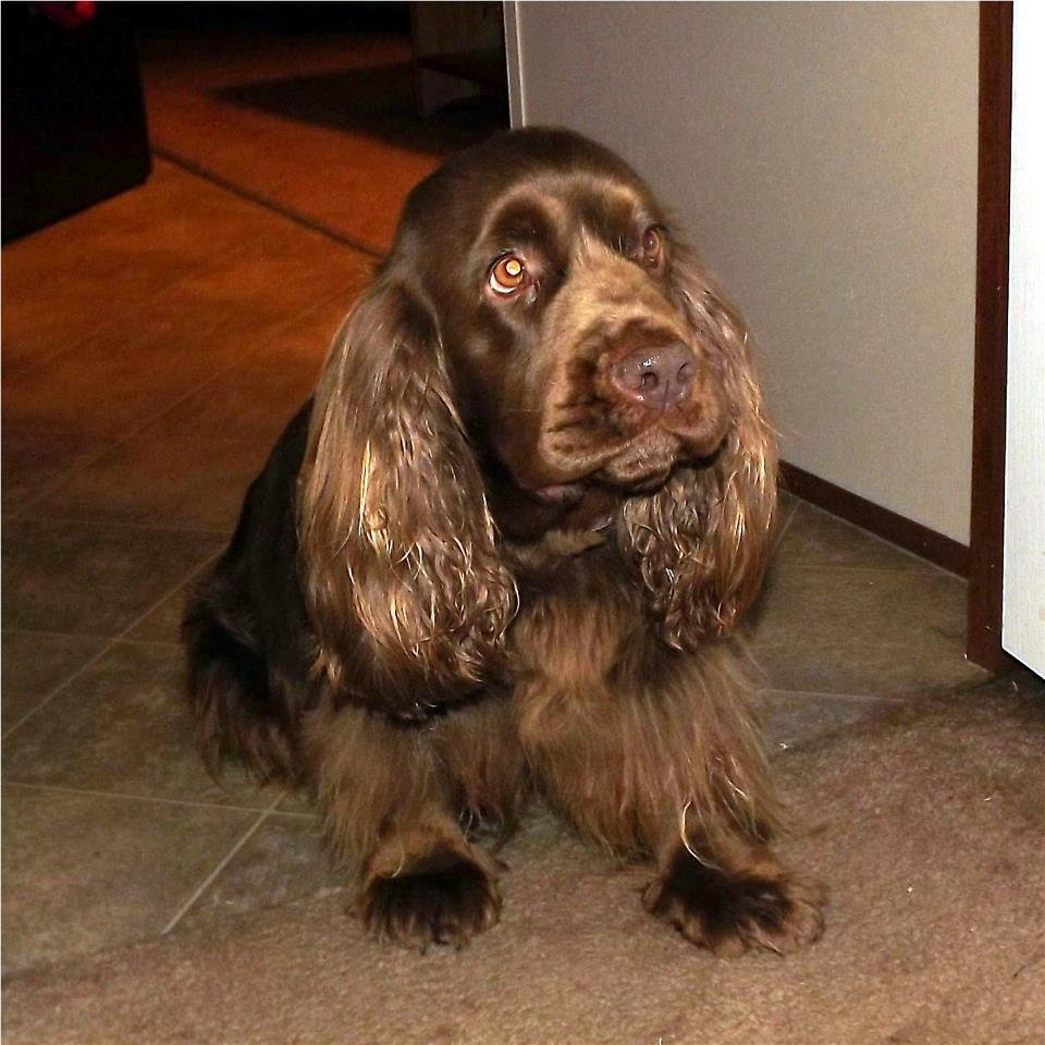 Saint-Usuge Spaniel Puppies: Saint Usuge Sad Sussex Spaniel Breed