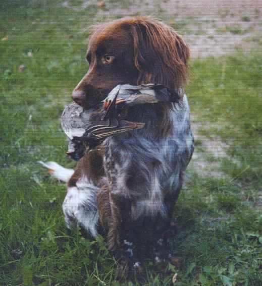 Saint-Usuge Spaniel Puppies: Saint Usuge Saint Usage Spaniel Breed