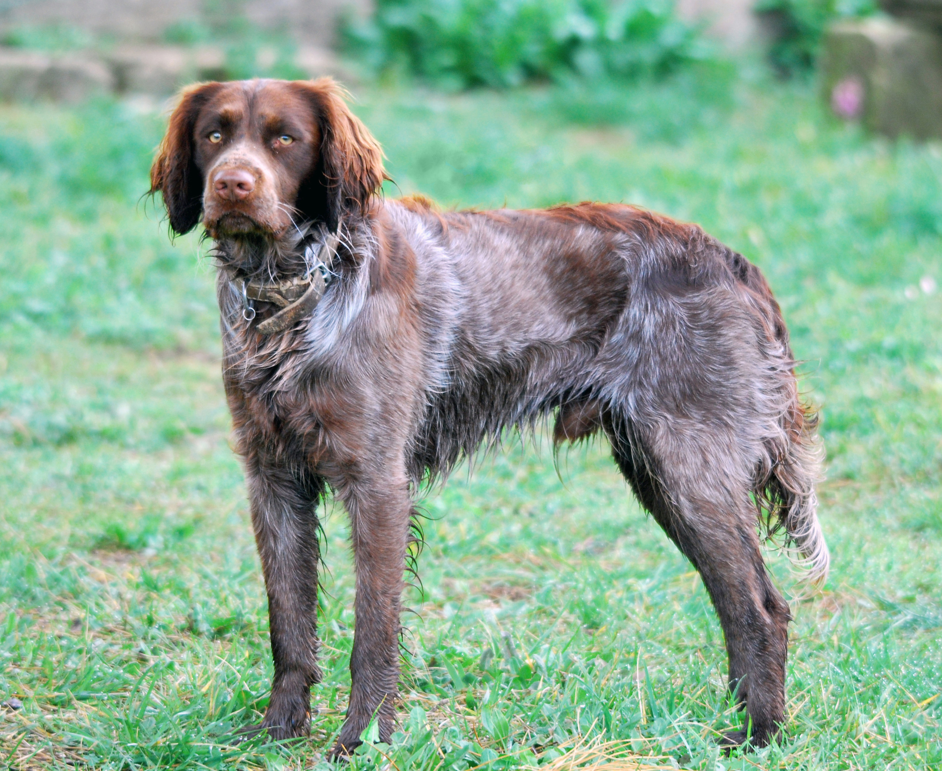 Saint-Usuge Spaniel Dog: Saint Usuge Saint Usuge Spaniel Breed