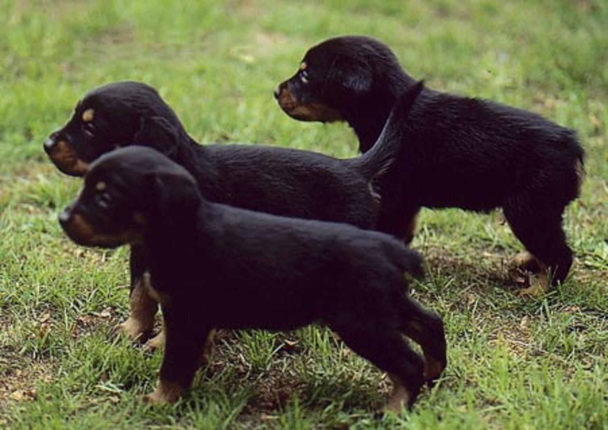 Saint-Usuge Spaniel Puppies: Saint Usuge Smalandsstovare Puppies Breed