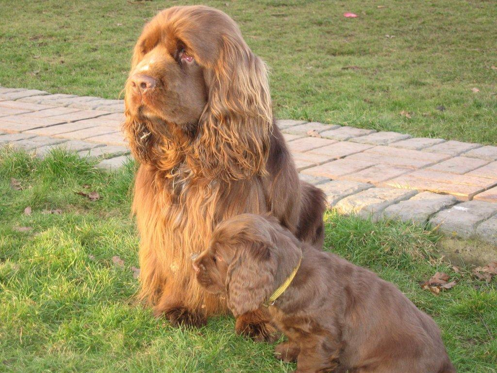 Saint-Usuge Spaniel Puppies: Saint Usuge Sussex Spaniel With Her Puppy Breed