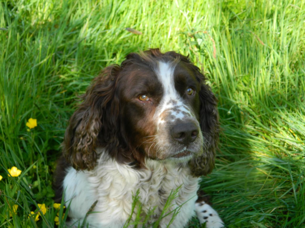 Saint-Usuge Spaniel Puppies: Saint Usuge Welsh Springer Spaniel Puppies Id Breed