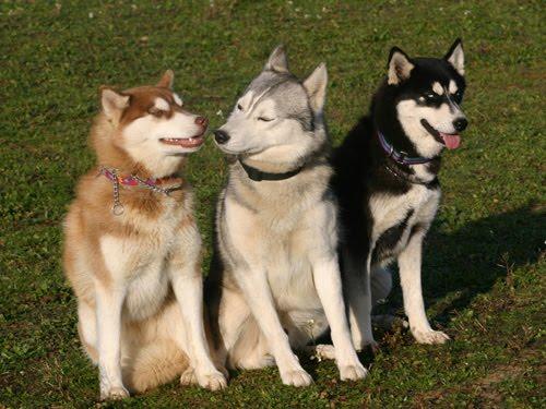 Sakhalin Husky Dog: Sakhalin Sakhalin Husky Dog Breed S