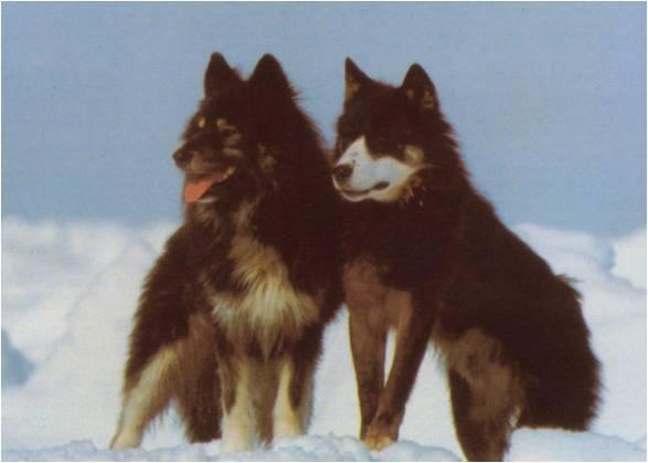 Sakhalin Husky Dog: Sakhalin Sakhalin Husky Dogs Breed