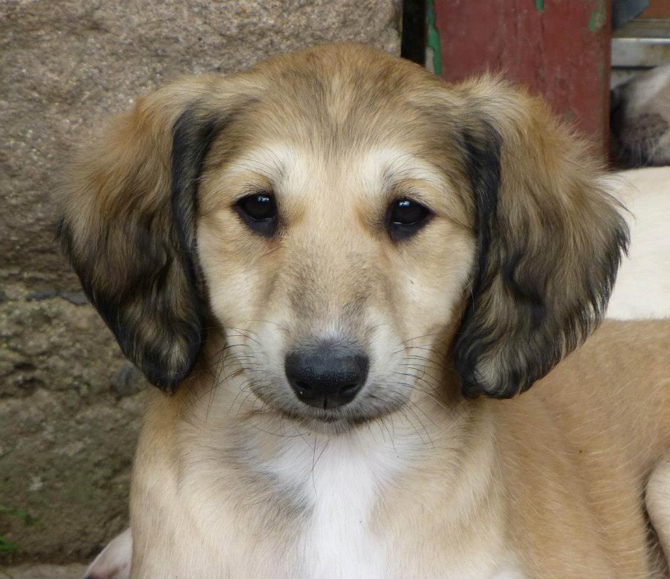 Saluki Puppies: Saluki Index Breed