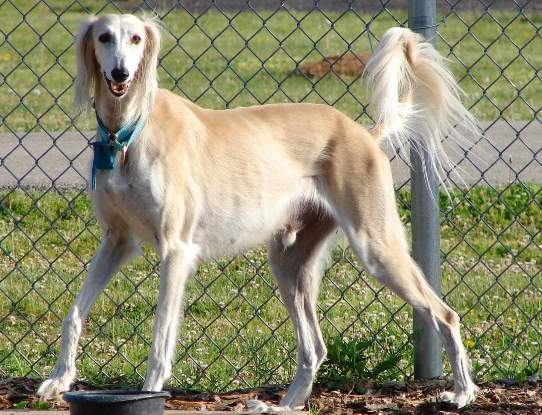 Saluki Dog: Saluki Lovely Saluki Dog Breed