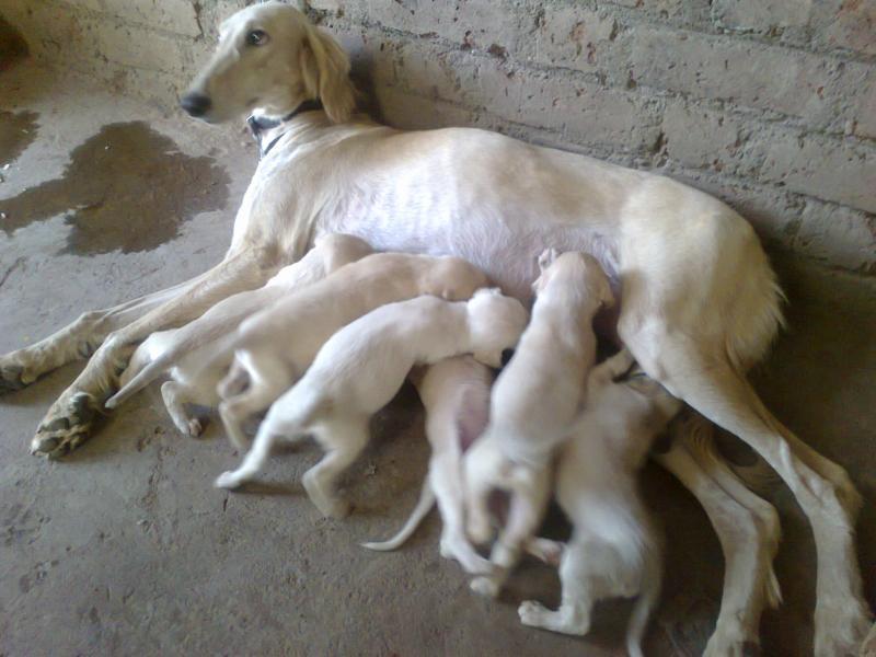 Saluki Puppies: Saluki Mdmane Saluki Breed