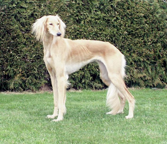 Saluki Puppies: Saluki New Zealand Saluki Breeders Grooming Dog Puppies Reviews Articles