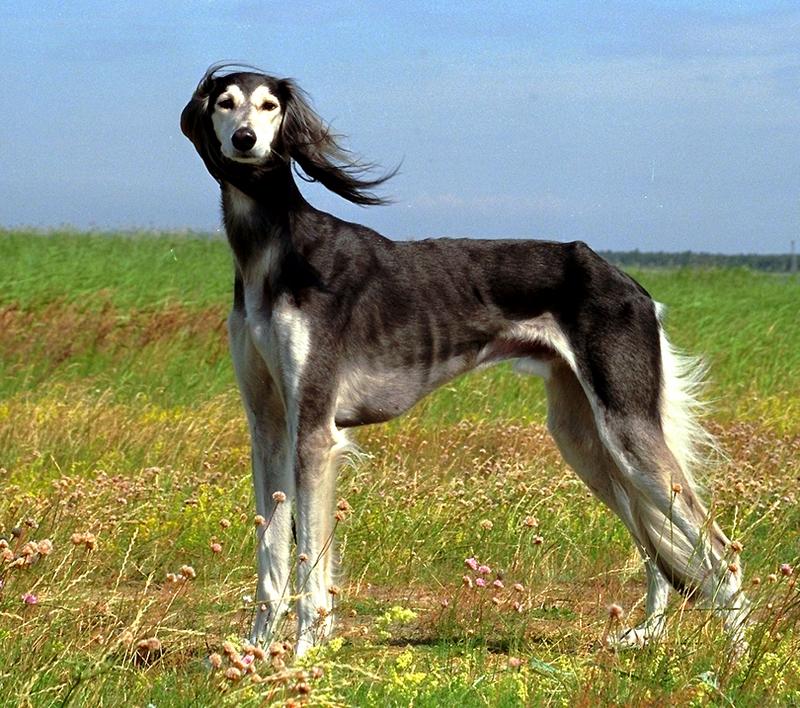 Saluki Dog: Saluki Saluki Breed