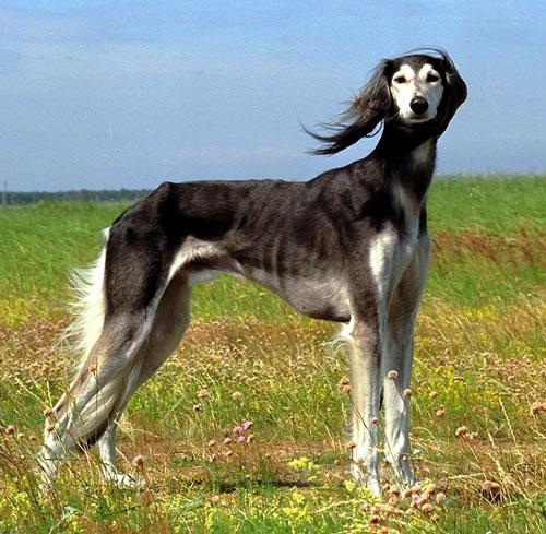 Saluki Dog: Saluki Saluki Dog Breed Pictures