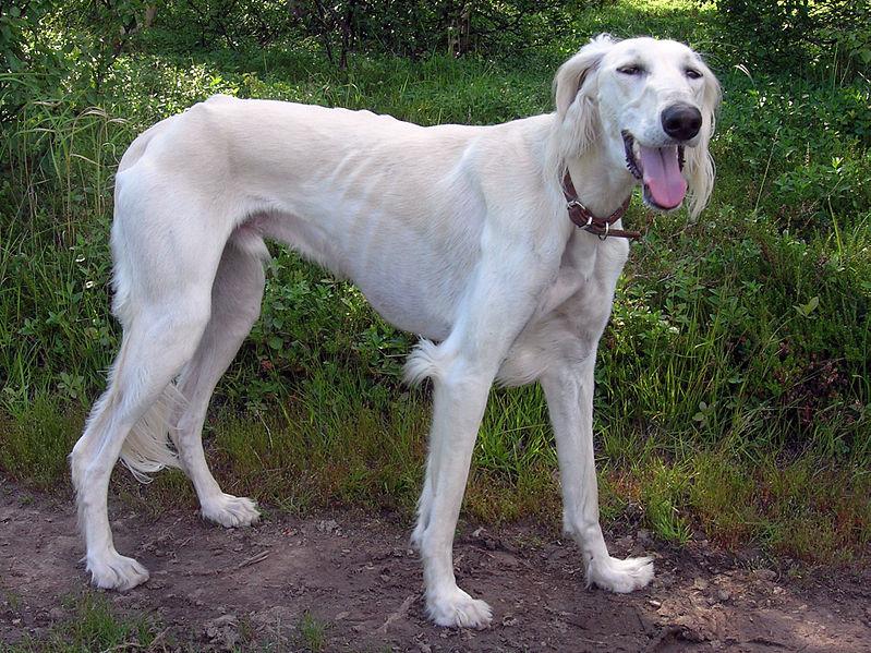 Saluki Dog: Saluki Saluki Dog Breed