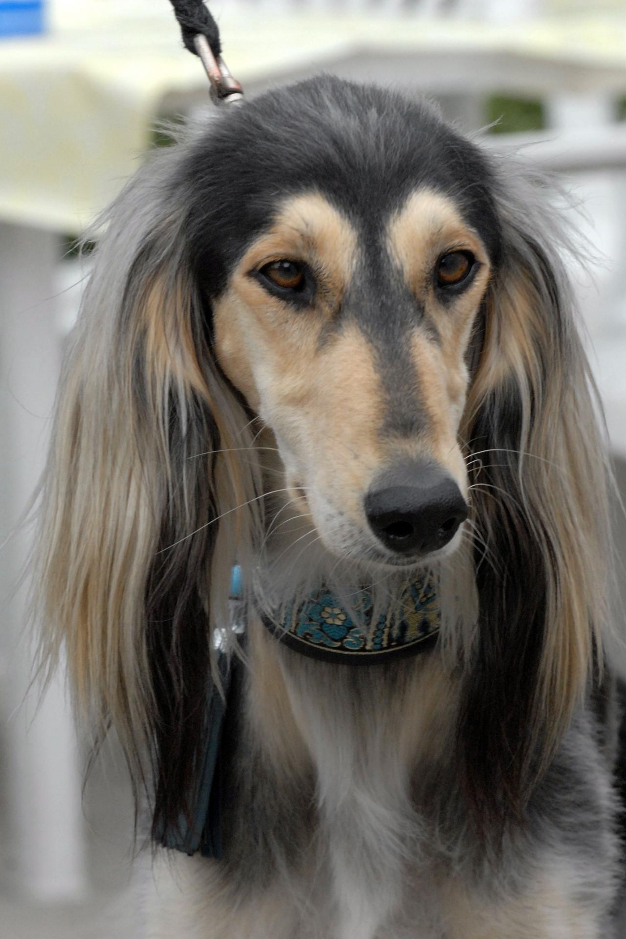 Saluki Dog: Saluki Saluki Dog Face Breed