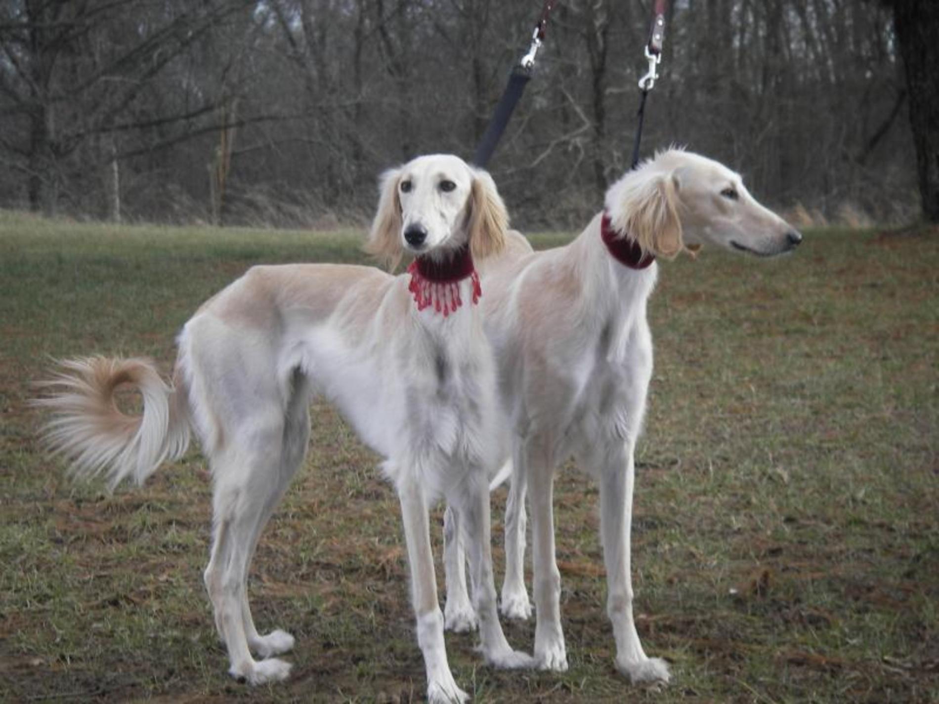 Saluki Puppies: Saluki Saluki Dogs Breed