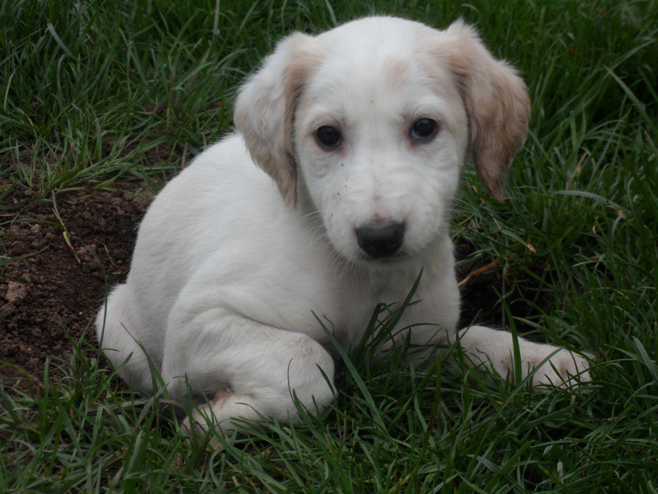 Saluki Puppies: Saluki Saluki Greyhound X Saluki Puppies Boston Breed