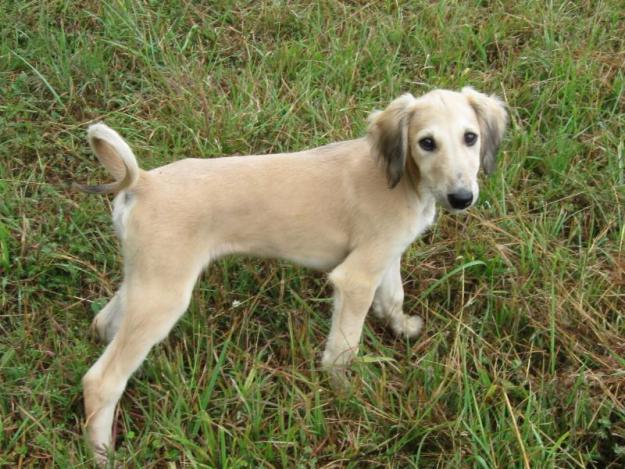 Saluki Puppies: Saluki Saluki Puppies Pictures Breed