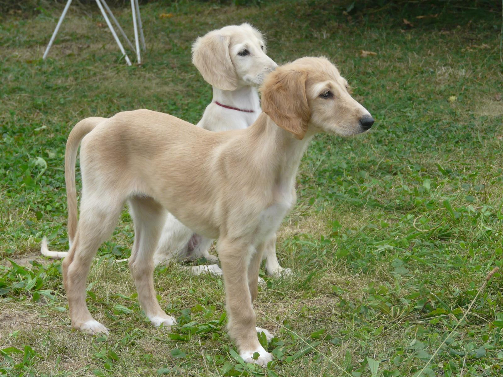 Saluki Puppies: Saluki Saluki Puppies Weeks Stenatka Tydnu Breed