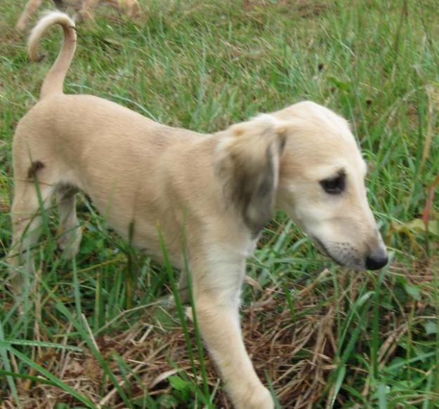 Saluki Puppies: Saluki Saluki Puppy Pictures Breed