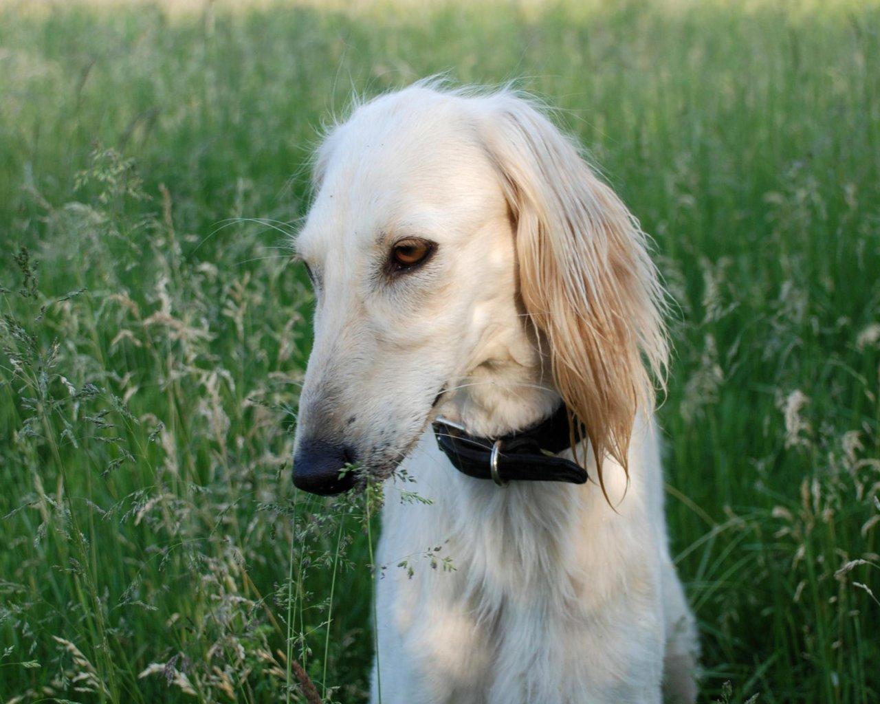 Saluki Dog: Saluki Saluki Sighthound Breed