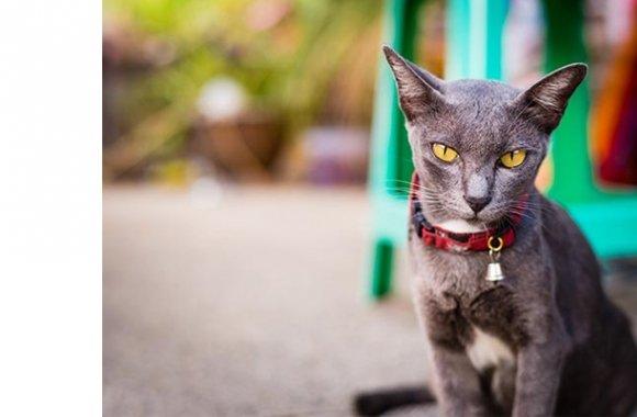 Sam Sawet Cat: Sam Breed