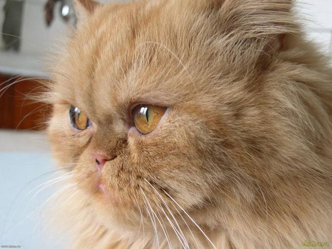 Sam Sawet Kitten: Sam Serious Persian Cat Breed