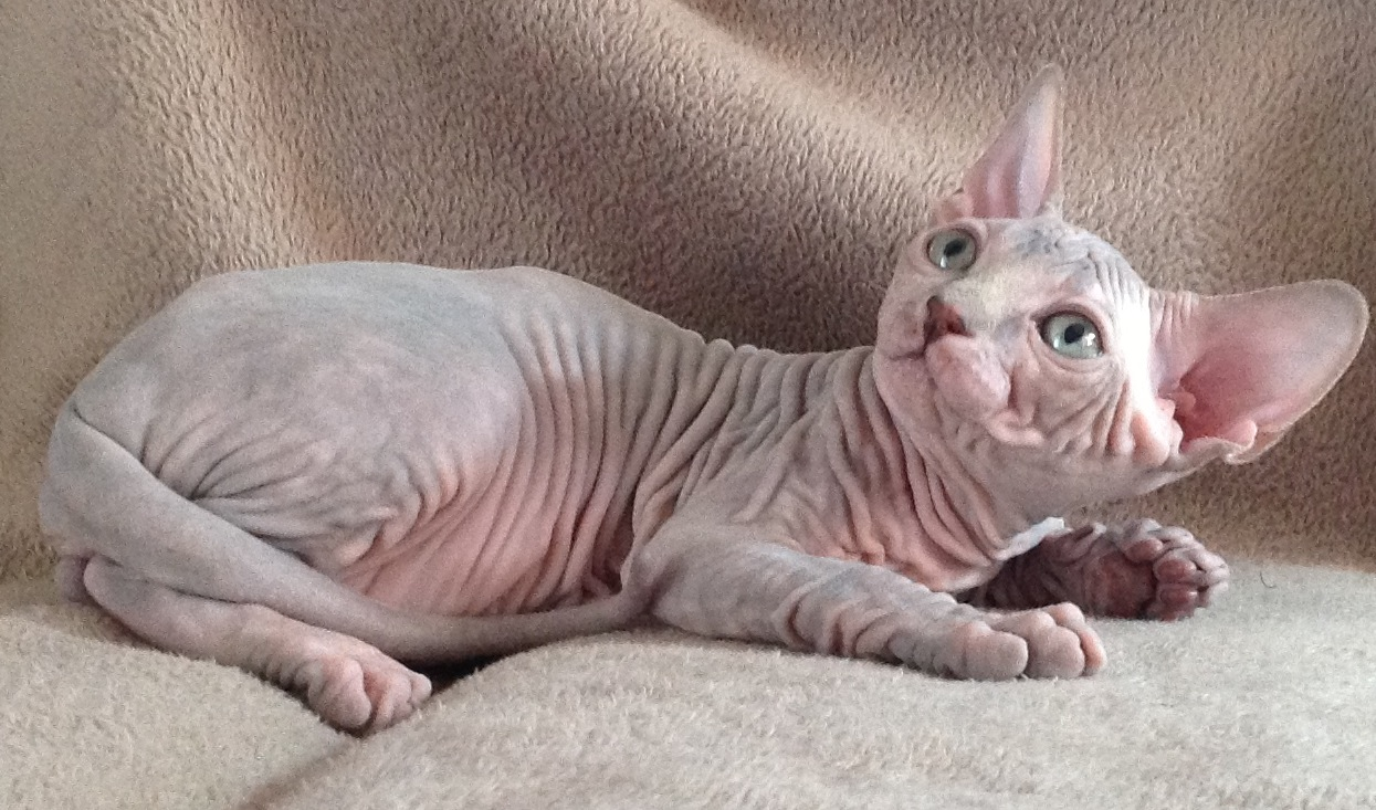 Sam Sawet Cat: Sam Sphynx On A Couch Breed